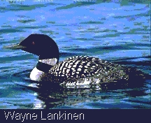 Common Loon or Great Northern Diver (Gavia immer)